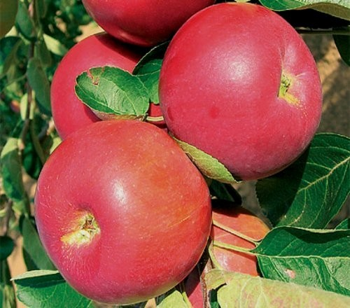 jabloň plod Julia