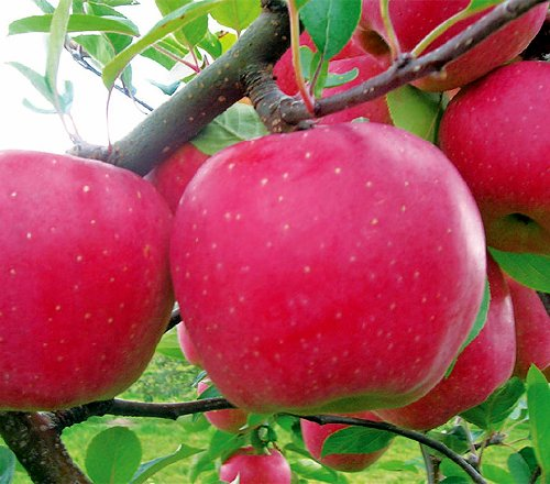 jabloň plod Blaník