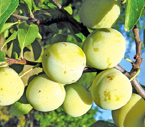 Ryngle plod Zelená renklóda