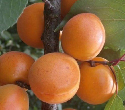 meruňka Leskora plod