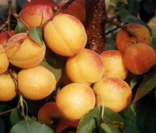 meruňka plod Lerosa